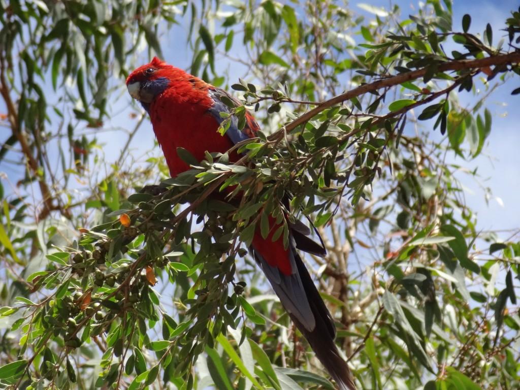 Australia Crimson Rosella