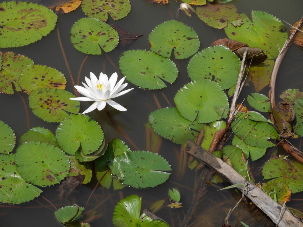 Pulau Ubin Water Lily