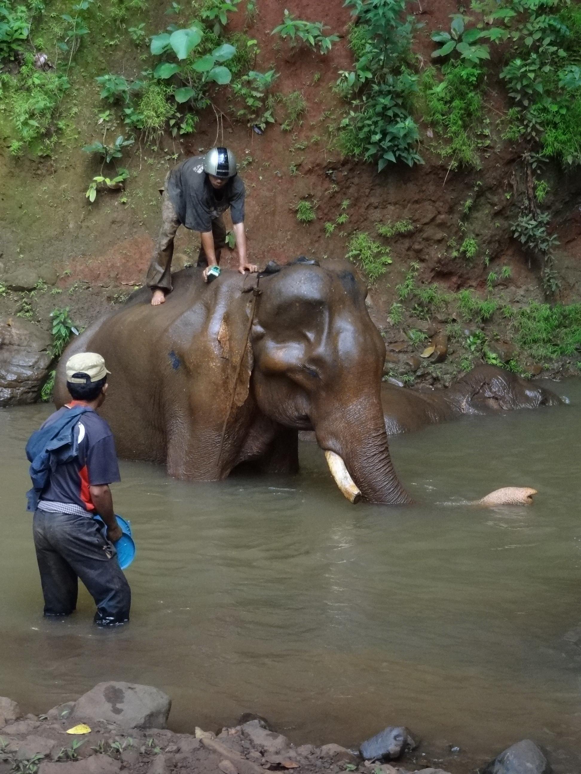 Cambodia Elephant Bull