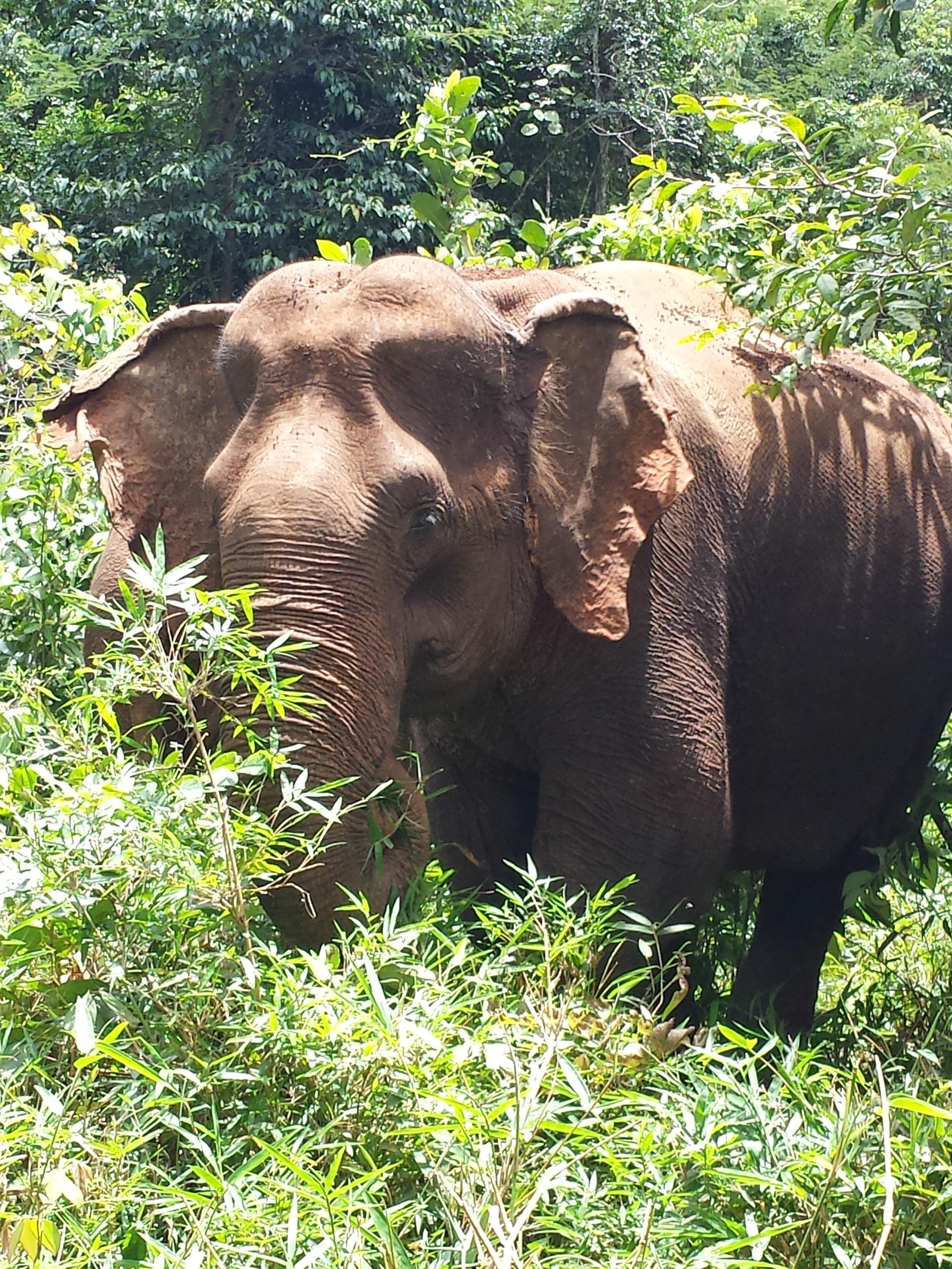 Cambodia Elephant II