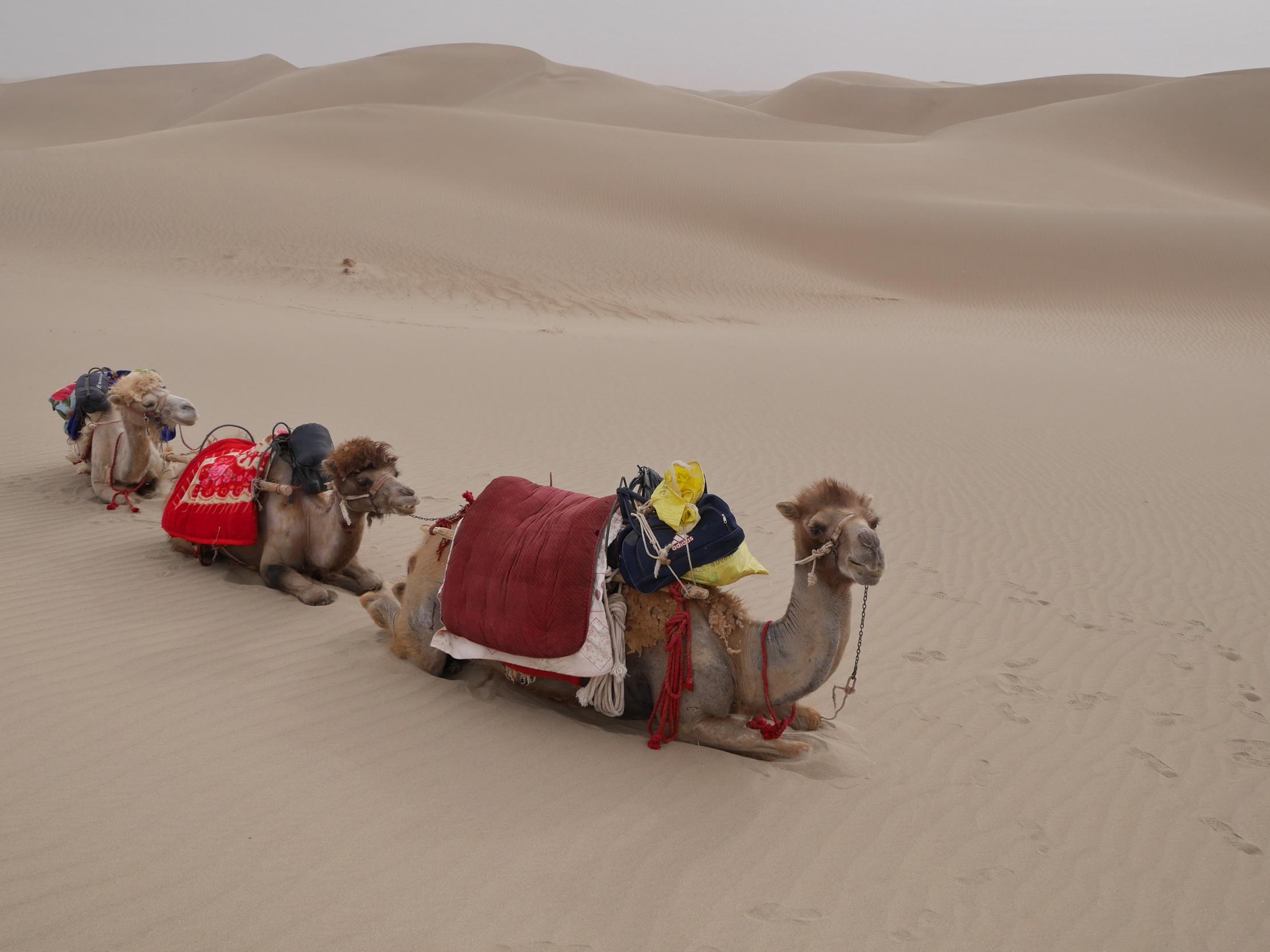 Xinjiang Camels_resize