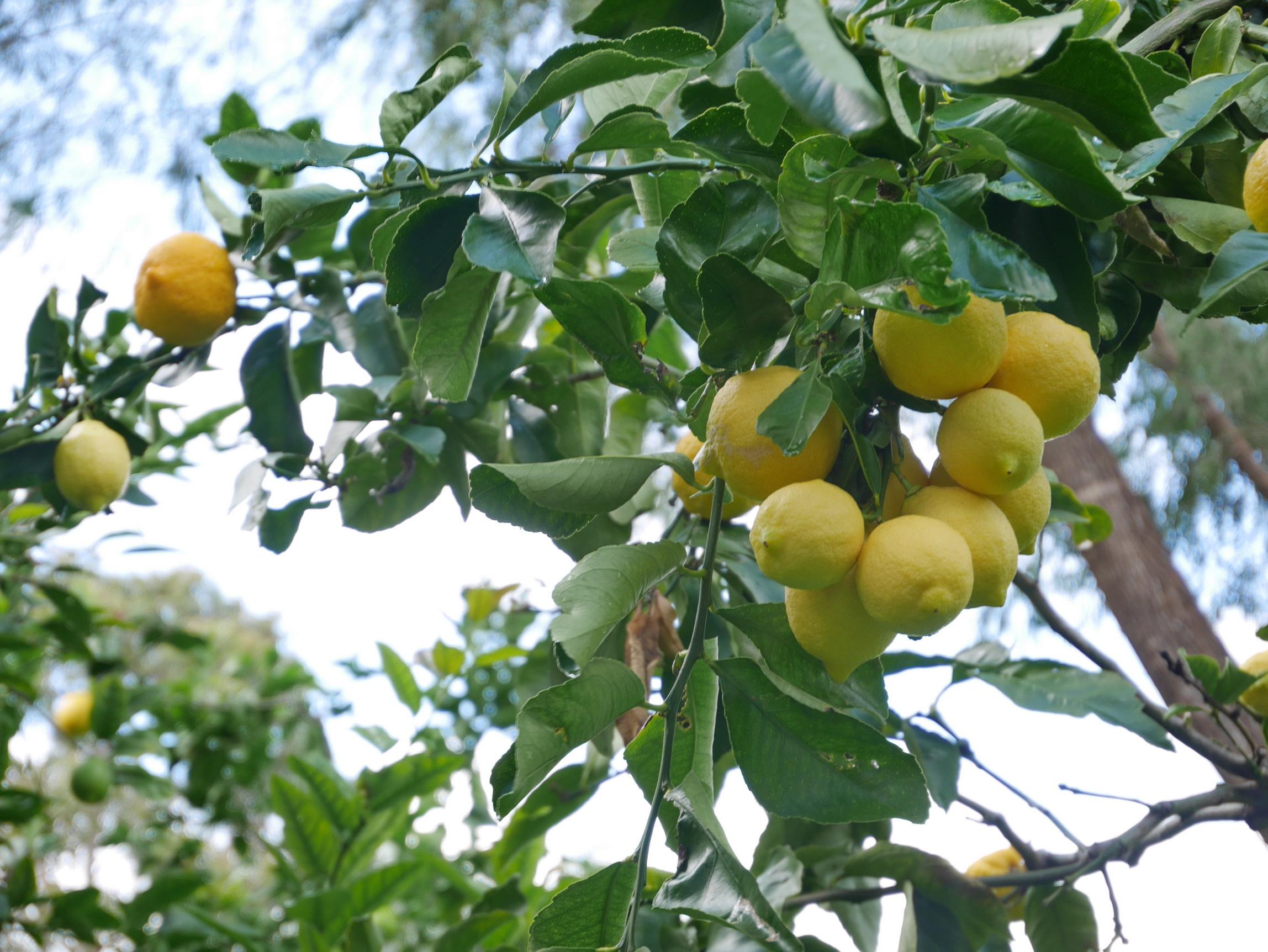 Australia Lemons