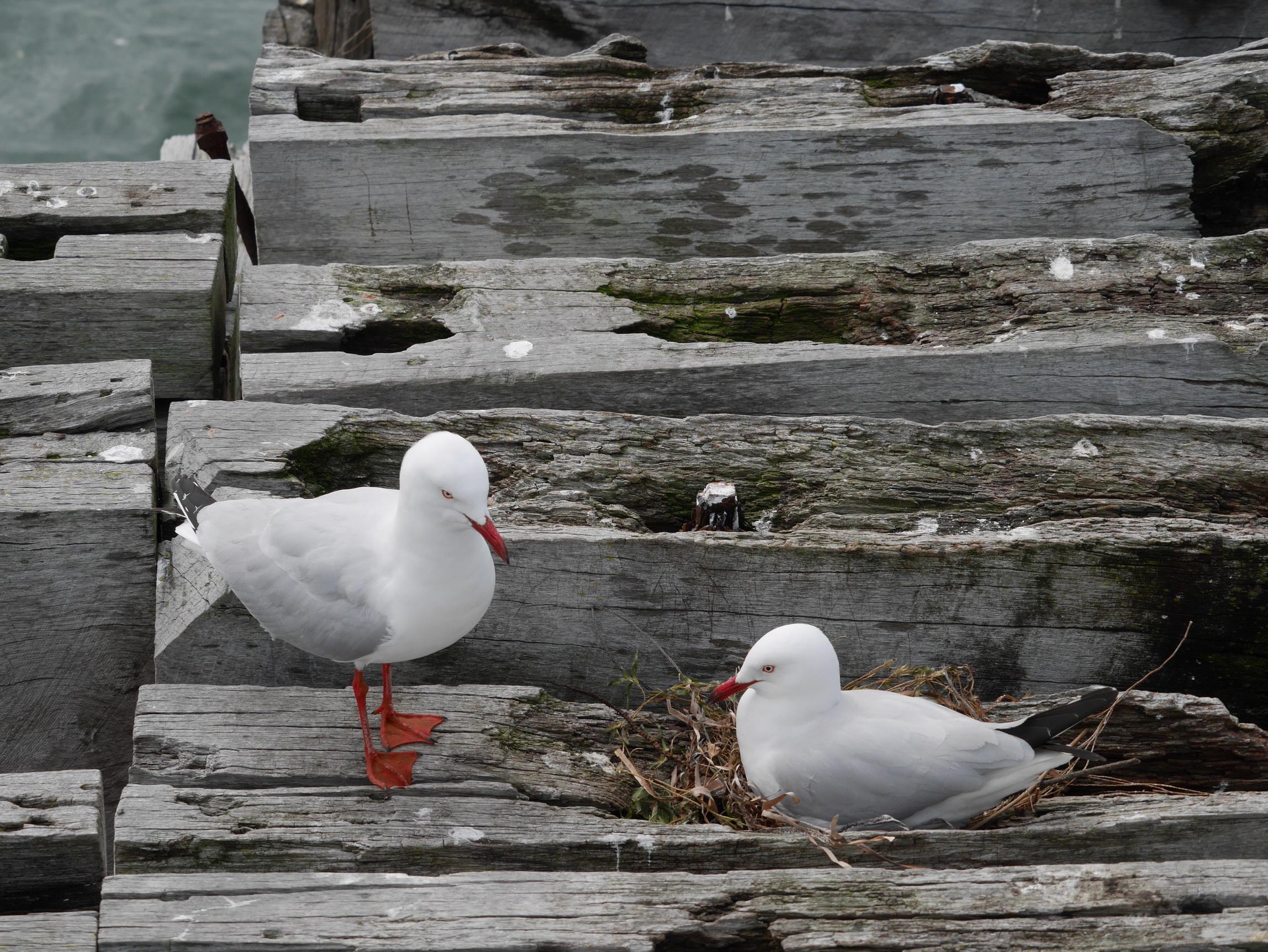 Australia Sea Birds